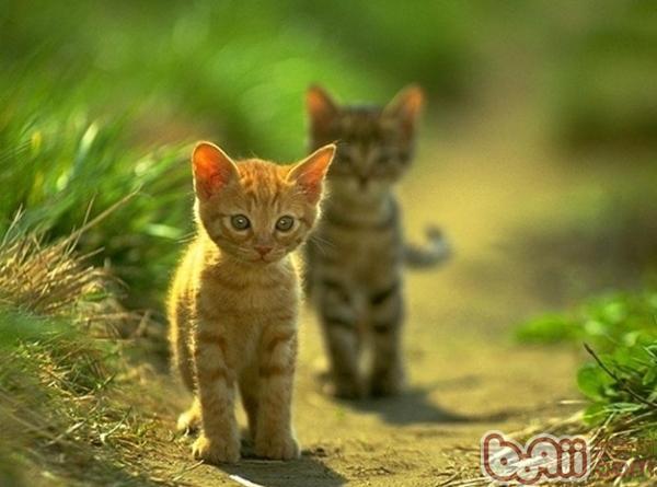 为了猫咪和我们自己的健康,猫主们应该做到按时为猫咪做好驱虫工作,尤其是外面捡回来的流浪猫更要注意,毕竟猫咪是肉食为主的,难免吃到含有寄生虫的生肉。但是在为猫咪驱虫时候我们也应该注意一些方面。   1、驱虫药的种类   猫用驱虫药一般分体内驱虫药和体外驱虫药,常用的猫咪体内驱虫药为妙巴、拜耳、大宠爱等。常见的猫咪体外驱虫药是福来恩。以上几种要都是进口的驱虫药,当然也可以使用国产的广谱驱虫药。但是我认为,进口驱虫药价格虽然要昂贵一点,但是猫咪一年才吃一次,还是吃进口的驱虫药有保证,毕竟驱虫药是有毒性的,如