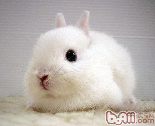 兔兔吃粮呛到气管抢救方法 |兔子养护-波奇网百科大全