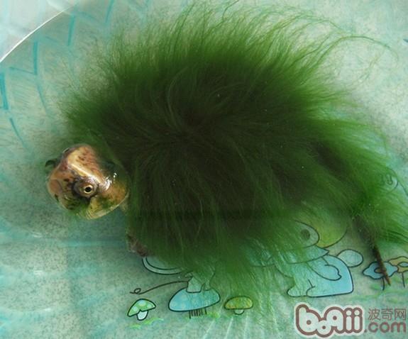 藻类的龟类较为罕见。下面就是对绿毛龟品种的一个简介!    绿毛龟,古称神龟,是绿藻和龟的有机结合体。正宗的绿毛龟系将龟背基枝藻接种在黄喉拟水龟或平胸龟、眼斑水龟等龟体体表上,绿毛长度在4~5厘米以上。绿毛龟的绿毛就是绿缨丛毛状的基枝藻。   外形特征   绿毛龟其实是一种背上生着龟背基枝藻的淡水龟。它是将动物与水生植物巧妙的融合为一体的生物。因龟背上的藻体呈绿色丝状,并长达25厘米,在水中如被毛状,故称绿毛龟。   分布范围   中国野生绿毛龟分布在长江中下游丘陵山区的一些特殊的小生境内,湖北省蕲春县