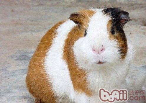 豚鼠有趣又特别的生物特性 |小宠品种-波奇网百科大全