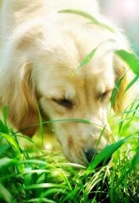 狗狗是杂食动物,吃草是狗狗的营养需要