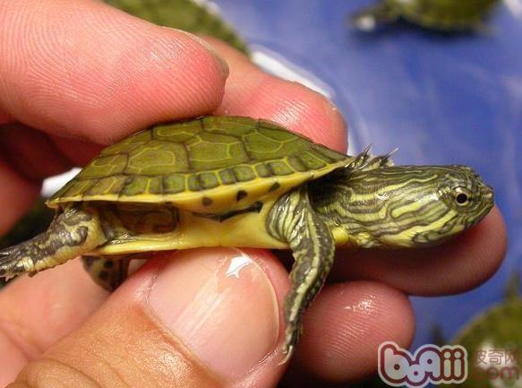 这是因为鸡龟也是冷血动物