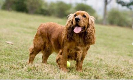 可卡犬智商是不是很聪明 狗狗品种-波奇网百科大全