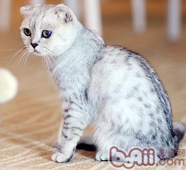 一只可爱的苏格兰折耳猫的寿命大概是多长