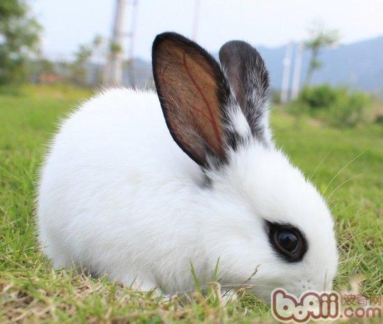 兔兔皮肤疾病的认识和治疗 兔子疾病-波奇网百科大全