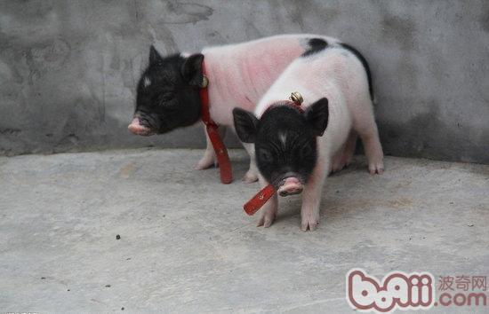 那就是看猪猪的牙齿,想想外面卖的猪猪一般3斤左右,3斤左右的香猪牙齿
