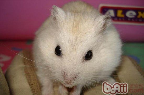 仓鼠身体构造的基本生理知识
