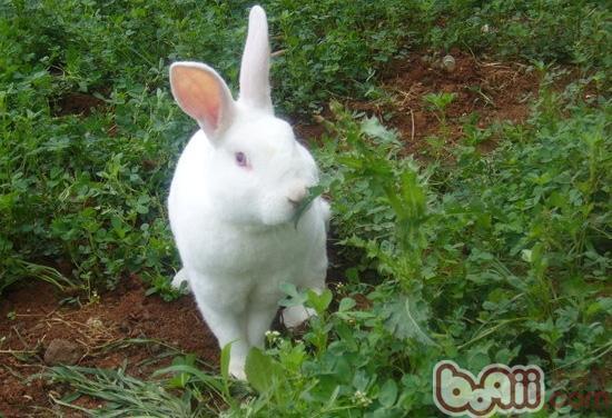 养兔子的很多人都喜欢将一些将一些野菜喂食给兔子,但是经过化验和实践证明,有些青草和野菜不能用来饲喂兔,以免中毒死亡。下面就来看看兔子不能吃哪些野菜!   一是在任何情况下不可喂以下有毒青草、野菜:土豆秧、西红柿秧、落叶松、金莲花、白头翁、落叶杜鹃、野姜、飞燕草、蓖麻、狗舌草、乌头、斑马醉木、黑天仙子、白天仙子、颠茄、水芋、骆驼蓬、曼陀罗花、野葡萄秧、狼毒、藜等。   二是有些青草与青菜在生长发育某一阶段喂兔,很容易引起中毒。例如:黄、白花草木樨在蓓蕾开花时有毒,不可喂兔;荞麦、洋油菜在开花时有毒,不