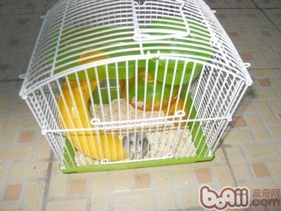 仓鼠是非常流行的宠物鼠之一,这种小宠活泼可爱,饲养起来有非常的容易,因此也得到越来越多的人喜爱和追捧。饲养仓鼠与饲养宠物狗、宠物猫不一样,首先家长需要准备一个牢固优质的仓鼠笼子,笼子内还有必要准备饮食、饮水用的器皿,而且最要有一个运动的滚架,然给仓鼠来打发闲暇的时间。那么,家长怎样才能为仓鼠选择到一个优质的笼子呢?   首先,我们知道仓鼠也有磨牙的喜欢,为了避免牙齿过快的生长,它们会啃噬一切的东西。所以选择的仓鼠笼子一定不能是木质的,而应该选择铁质的,这样仓鼠才不会咬坏笼子而逃出去。当然,所选择的笼子