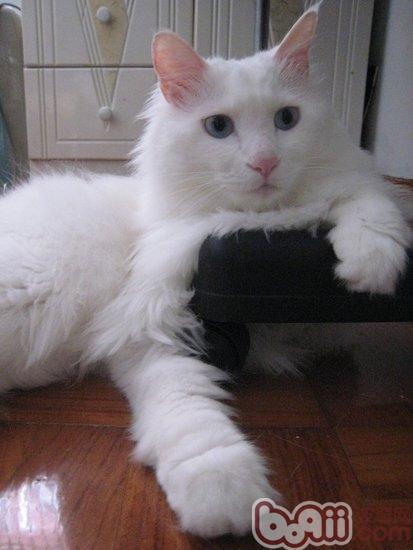 清理猫咪脱落的毛发的方法