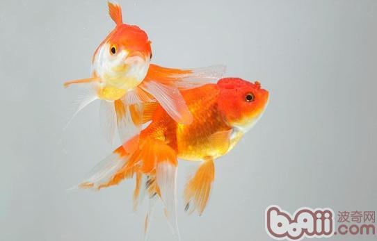 金鱼属于变温动物,它的体温随着环境温度而变化