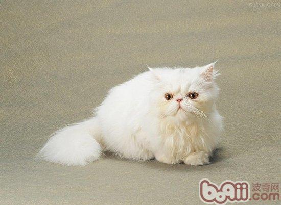 波斯猫是哺乳型的胎生动物
