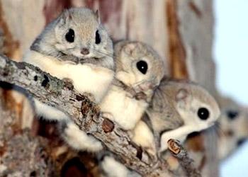 日本小鼯鼠是非常可爱的小动物