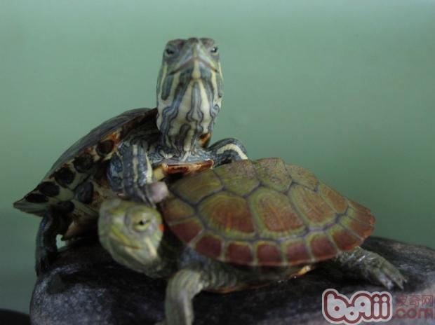 乌龟得了白眼病和肺炎怎么办