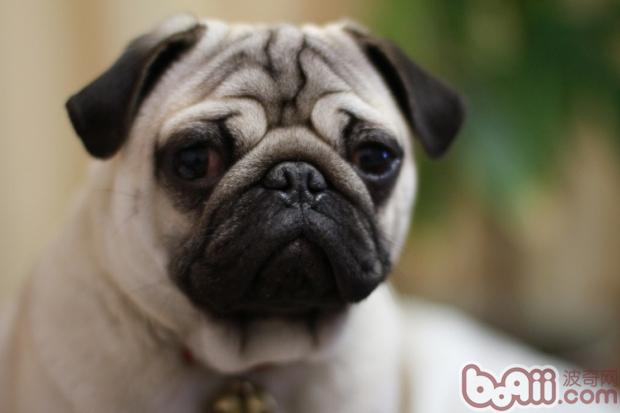 八哥犬精神状态不好是饲养过程中比较常见的一种情况。此时的八哥犬不喜欢动,有时候也会一直躺在狗窝中,对主人的挑逗不感兴趣,对送到面前的美食也无动于衷。八哥犬没精神的原因有一些,但是作为合格的宠物狗主人,还是应该知道在狗狗没精神的时候该怎么办。   八哥犬没精神的原因,比如说它运动过量,真的感到累了;又或者它生病了;或是陌生的环境让八哥犬感到紧张不安;又或者是主人长时间的无视,让给它感到郁闷了。这些原因的影响下,八哥犬的精神状态都会受到严重的影响,因此而变得低迷没精神。   判断狗狗是否生病还是比较容易的