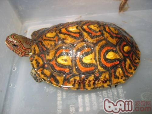 木纹龟 简介