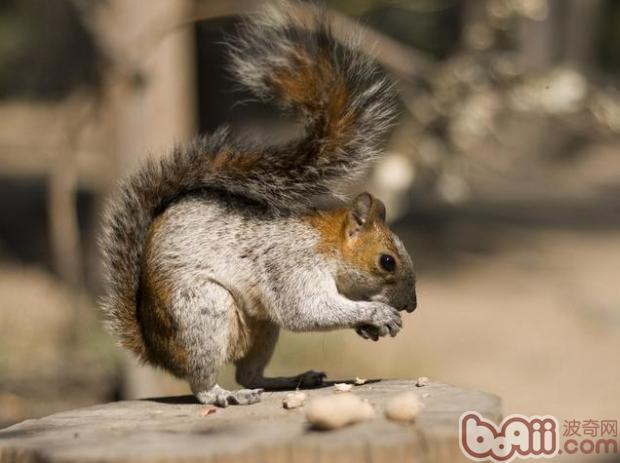 松鼠的常见疾病和治疗|小宠疾病-波奇网百科大全