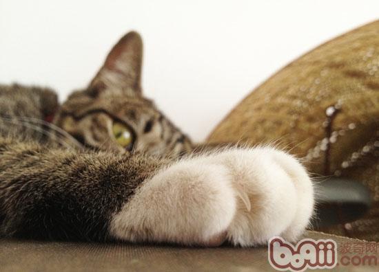 猫是由野猫进化而来的,猫的祖先为了捕猎小动物,生就了一副利爪。即便是现在的猫,也喜欢捕鼠和攀爬,甚至要和其他动物打斗。所以,猫的爪子十分锋利。因为猫的爪子生长很快,特别是城市公寓里喂养的猫,缺乏运动和攀爬,很少在粗糙的地面奔跑,爪子缺少磨练,长得更快。猫爪子如果长得过长,就会向内弯曲,爪尖倒刺会影响猫行走和刺伤脚上的肉垫。猫为了保持爪子的锋利和防止过长弯曲,因此养成了磨爪的习惯。   猫磨爪实际上是自身生理调节的需要,并不是不是什么异常现象。家庭养猫,必须满足猫的这种需要,应给猫准备一块供其磨爪的木拄