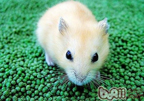 仓鼠样子可爱,而且部分品种与人比较亲近