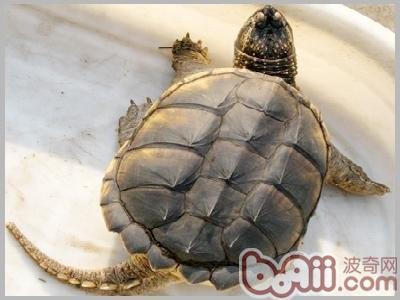 如何正确的用手抓鳄鱼龟