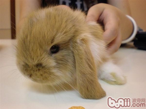 超萌垂耳兔选购小技巧|兔子品种-波奇网百科大全