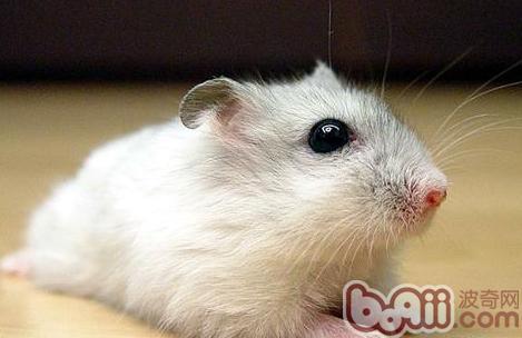影响宠物鼠寿命的六大因素|小宠养护-波奇网百科大全