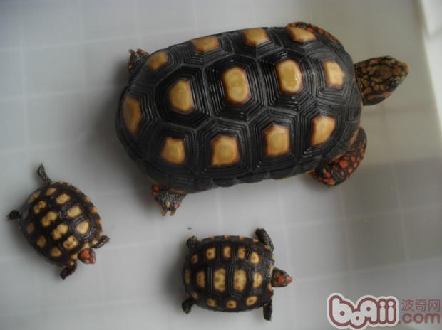 14.放射陆龟:分布于马达加斯加岛南部及东南部.