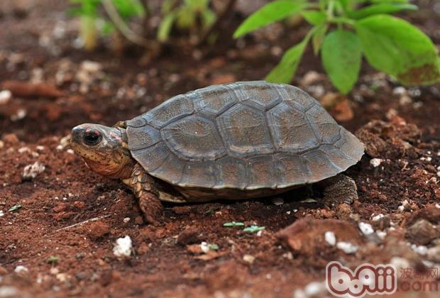 分耐寒的热带龟种
