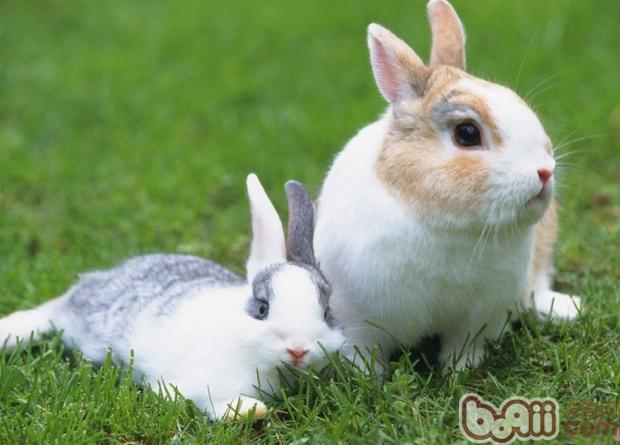 兔子是非常招人喜爱的小宠,小小的身躯,大大的耳朵,三瓣嘴可爱的表情,让人们忍不住要去抚摸搂抱它。当然,如果被搂抱的舒服,兔子也会表现出很享受很安逸的神情,如果被抓住耳朵,弄得它疼痛不舒适,兔子也会迅速的从手中逃跑。   在搂抱兔子的时候,切忌抓住它的耳朵。兔子的耳朵上布满了神经和血管,而且非常的脆弱敏感。耳朵除了听声音外,还能散热和夜间听音辨别方向。耳朵是兔子生活中非常重要的工具,它不会允许任何人去抓它的耳朵。同时,抓住兔子的耳朵,很容易损害它的神经和细小的血管,会严重伤害到它。   如果抓住了兔子的
