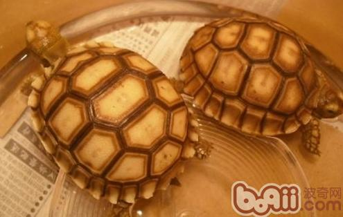 苏卡达龟的寿命有多长