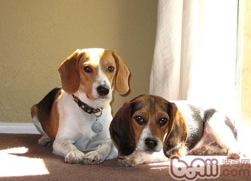 因为这耳朵结构特殊,比格犬就比其它一些宠物狗更
