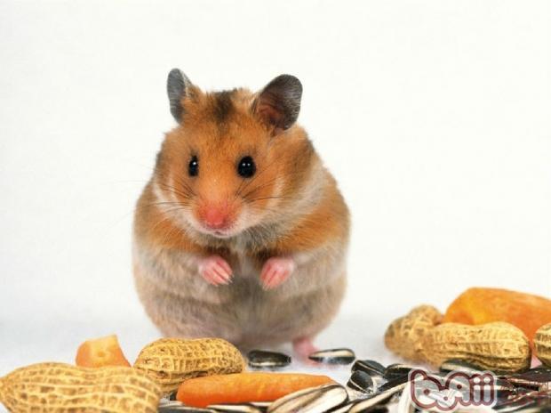 仓鼠不能吃的东西
