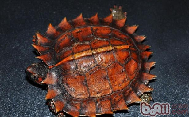 太阳龟的资料概览