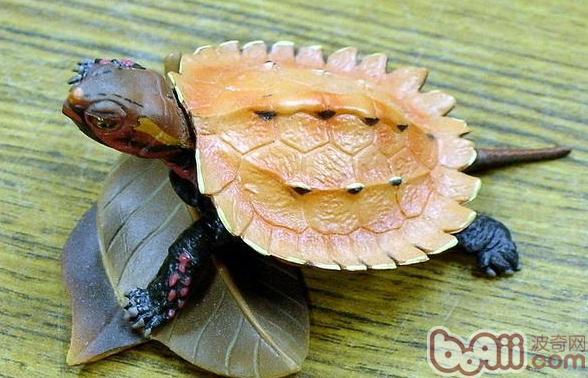 乌龟种类鉴别图片 家养乌龟分类及鉴别 如何鉴别乌龟公母