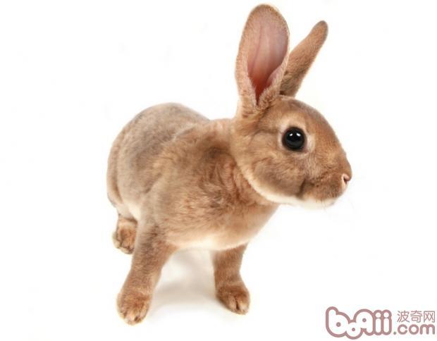 很多饲主都会希望宠物亲近自己,可是兔兔不像狗狗一样亲人。所以需要好好培养与兔兔之间的关系。   首先你需要与兔兔有些距离来观察兔兔的反应,如果兔兔有转身逃跑,那好,暂时到此为止吧,切不可在继续你的行为。   在兔兔对你的气味、声音、影像都不熟悉的的时候,兔兔会本能的出于保护自己做出逃跑,不要急,给兔兔些时间,平时多跟它用轻柔的话语交谈,让它熟悉你的气味,拿些它爱吃的食物,亲手来喂它,尝试性的进一步抚摸它的小脑门及后背,不要吓到它,要是发自内心的对它好,要把自己想象成它的伙伴,时间长了你就会赢得兔兔对你