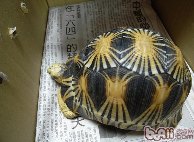 只有马达加斯加岛的南部出产这种陆龟,在那里它们被称为sokakes.