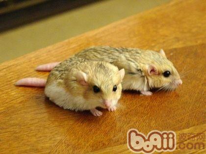 啮齿动物吃的食物(比如蒙古沙鼠或者仓鼠的食物)