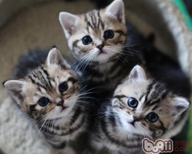 还可以感染其它的猫科动物和其它的一些动物如浣熊