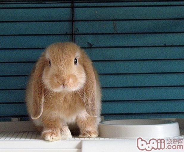 兔兔的视力知识|兔子养护-波奇网百科大全