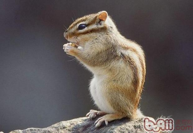该如何选购一只可爱的松鼠