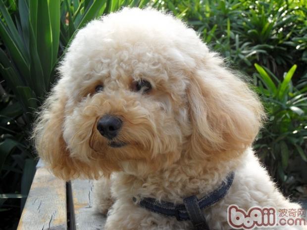 给贵宾犬剪毛的小技巧|狗狗美容-波奇网百科大全