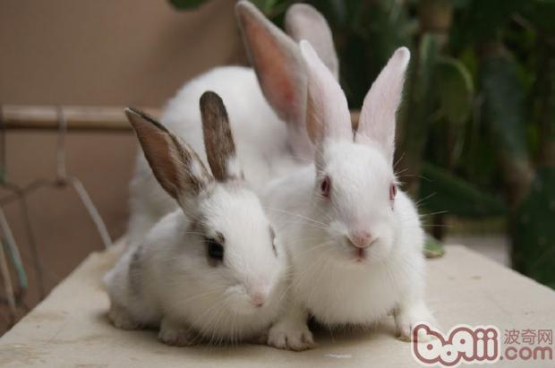 导致兔子打喷嚏,所以水壶挂的高度要适中,以兔子站立时一抬头就能舔到