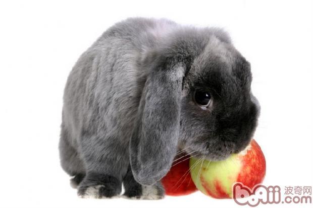 兔兔的生理构造比较独特,会在很意外的情况下受孕。今天小编来告诉大家兔兔的两种意外怀孕,家长们要留心咯。   公兔兔在绝育后的一段时期内,仍具有繁殖能力   公兔兔的绝育手术,是从公兔兔的阴囊处,手术切个小口把里面的睾丸取走,这时候的公兔兔睾丸虽被取走,但残留在输精管里的剩余精子,却还可以在体内存活两周左右,也就是说绝育手术后前三周内,公兔兔仍具有繁殖生育的能力,这也是很多兔兔主人,由于缺乏这方面的知识,没能及时把公兔兔与母兔兔隔离,造成意外繁殖产仔的原因。   另外,绝育后公兔兔血液中的睾酮含量也是