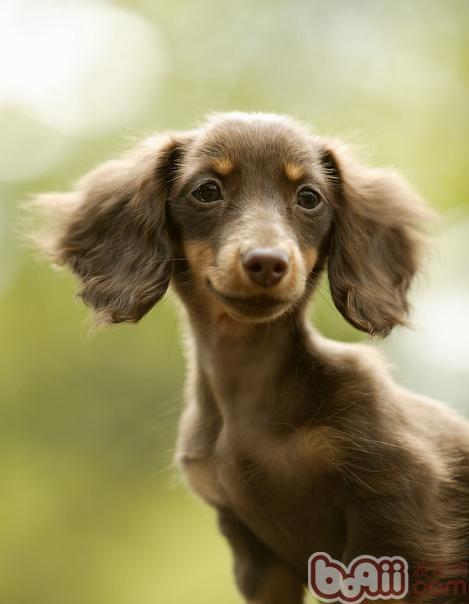 为什么不能给狗狗吃巧克力