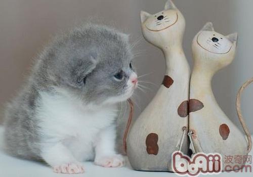 猫咪爱吃老鼠只为提升视力; 活泼又可爱的英国短毛猫_太平洋网络图片