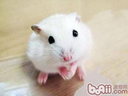 可爱动物仓鼠怎么画