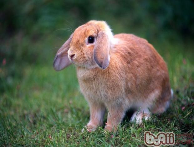 兔兔常见疾病的防治(三)|兔子疾病-波奇网百科大全