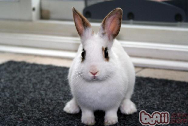 兔兔常见疾病的防治(四)|兔子疾病-波奇网百科大全