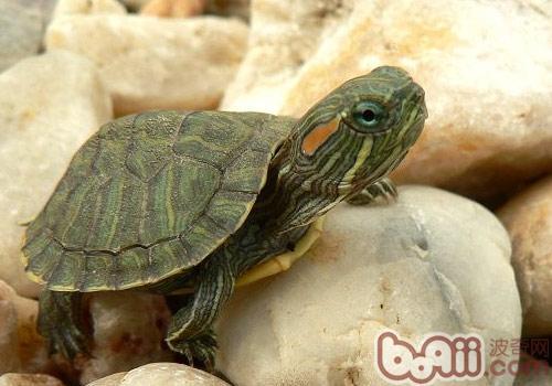 小乌龟冬眠了怎么办_巴西龟可以吃吗(包括炖汤)吃了会不会食物中毒?-巴西龟可以 ...