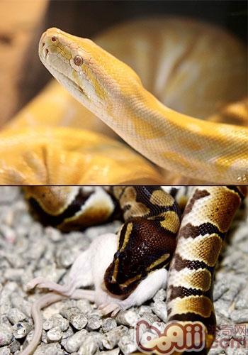 饲养喂食宠物蛇的方法|小宠繁殖-波奇网百科大全
